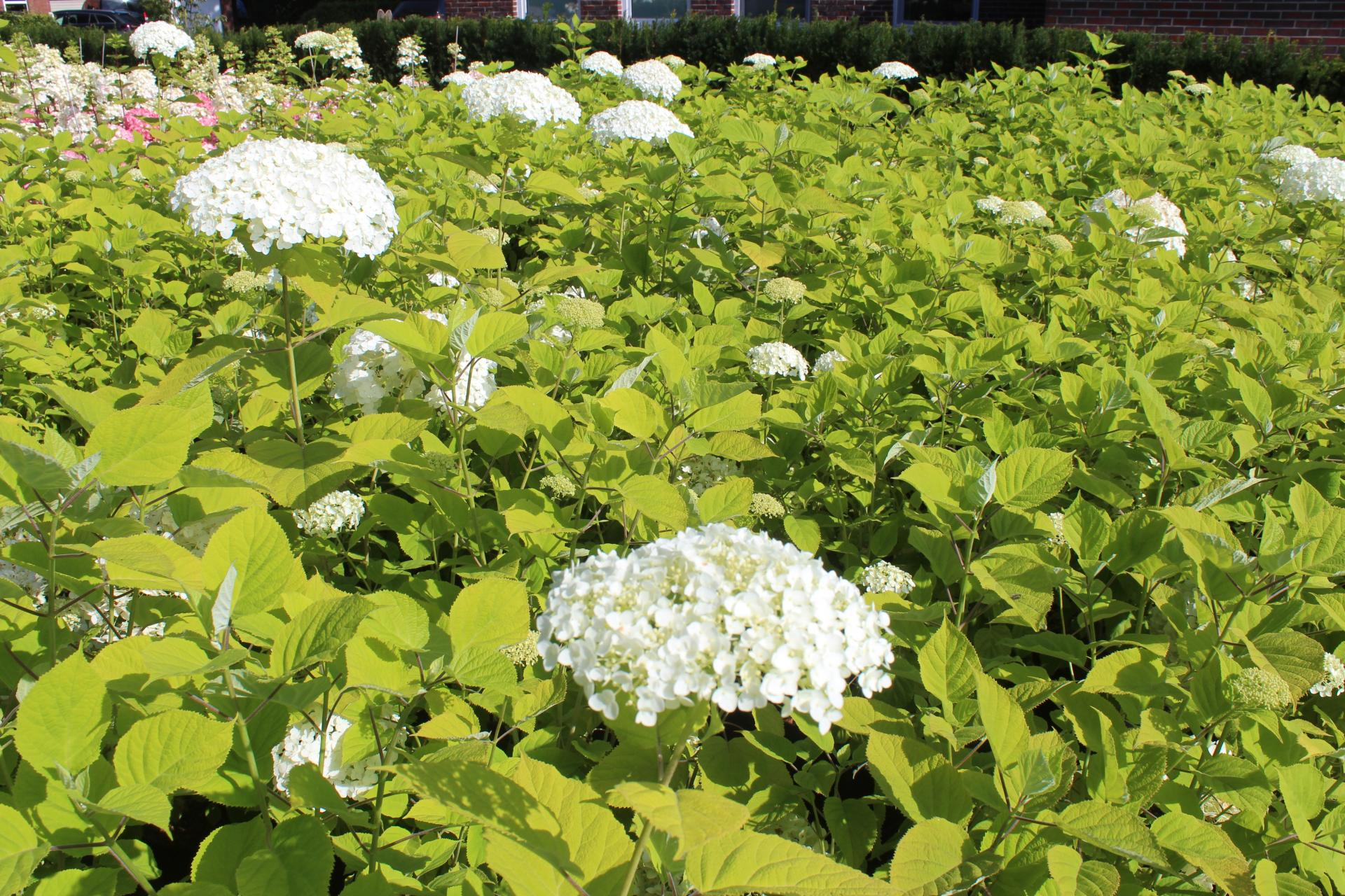 Hydrangea arborescens 'Strong Annabelle'®